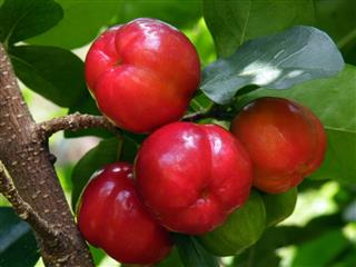 Fruits Acerola